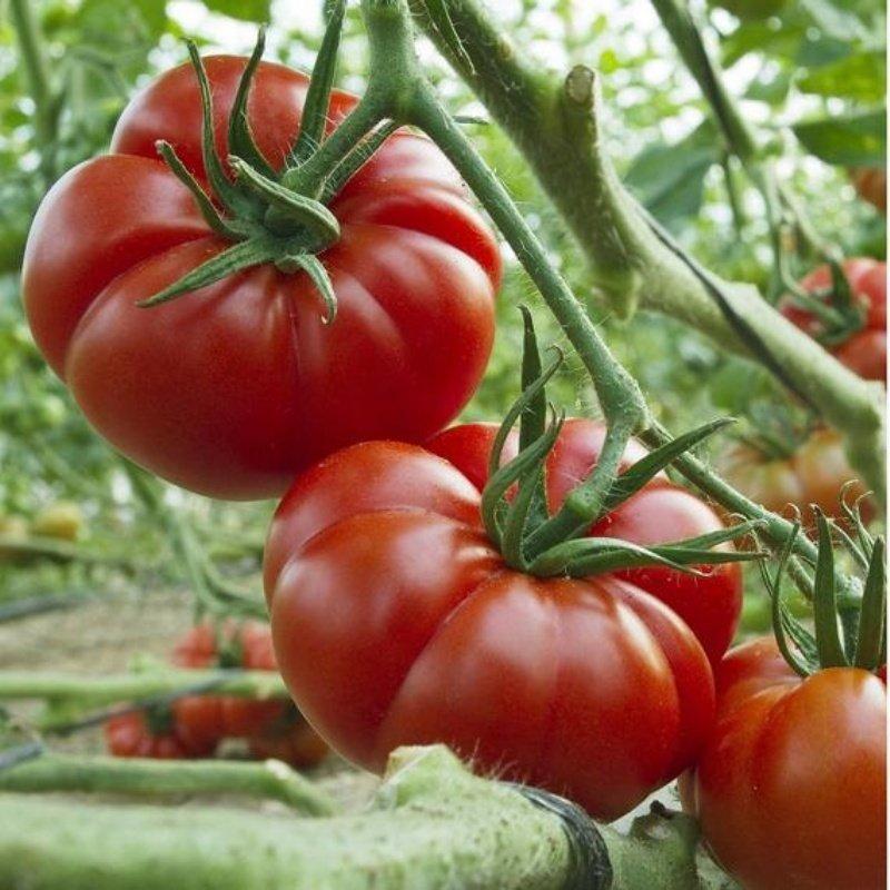 ayaş domatesi