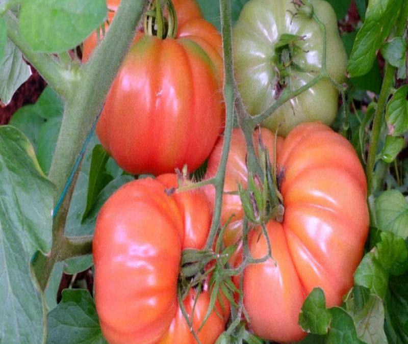 köy domatesi