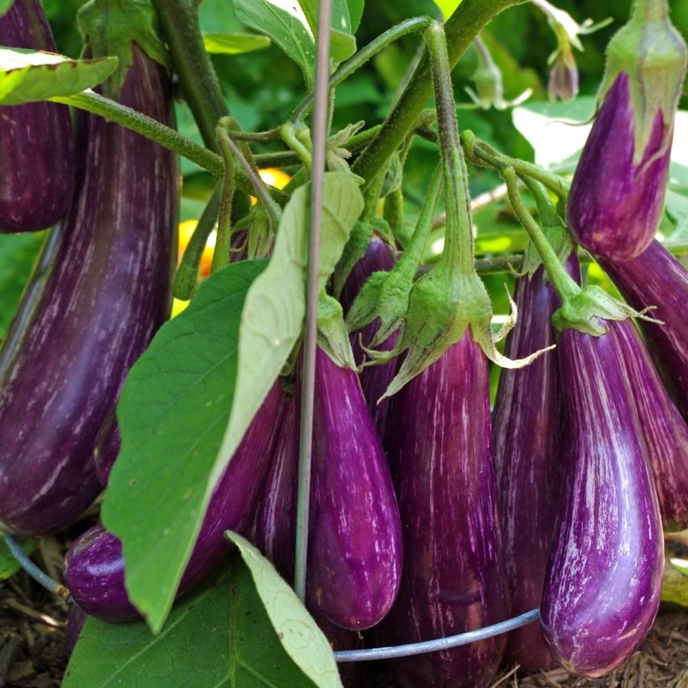 mor patlıcan