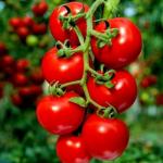 domates yetişticiliği