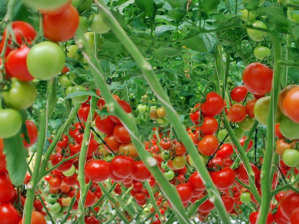 sırık domates