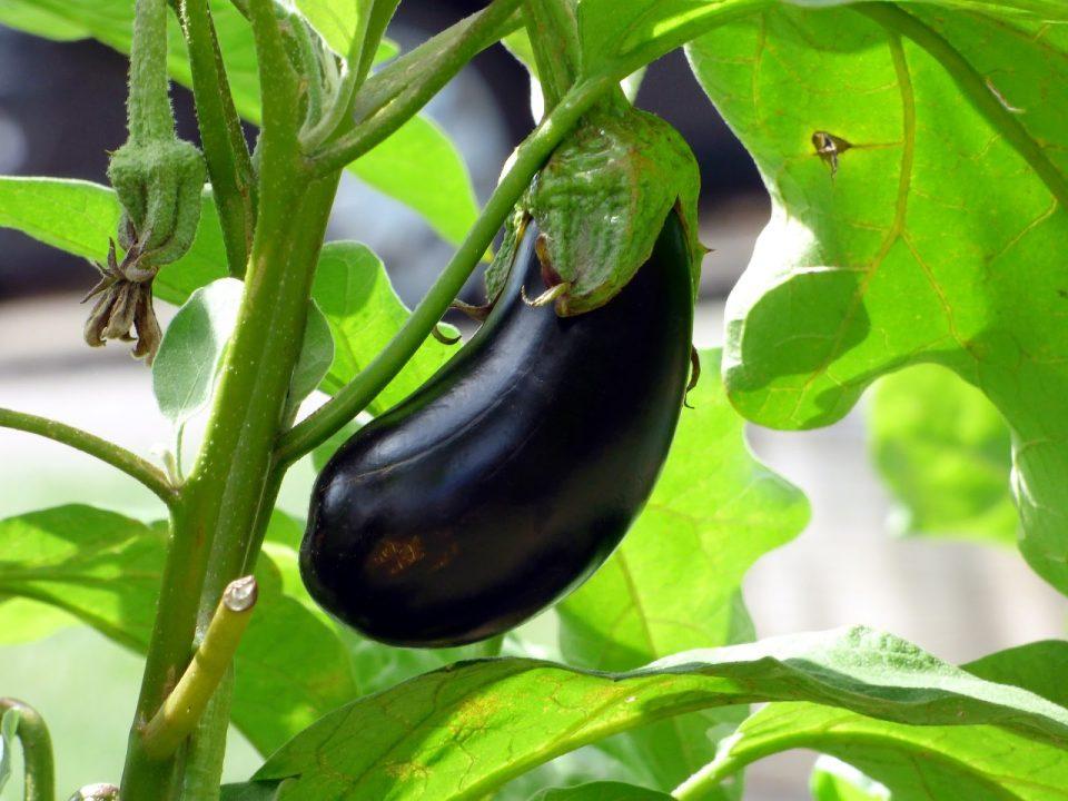 patlıcan yetiştirme